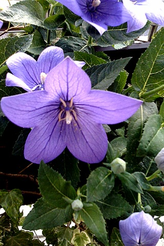 fleurpicoli
